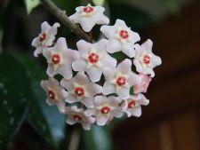 Cum sa ingrijesti corect Hoya sau Floarea de Ceara