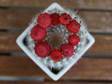 Cum sa ingrijesti cactusii corect, daca vrei sa fie plini de flori