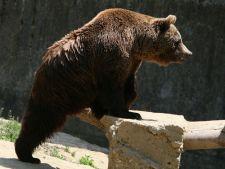 Urs impuscat pe strazile din Sibiu dupa ce a bagat spaima in cetateni