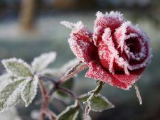 trandafir iarna inghet