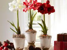 Amaryllis, planta superba pe care sa o plantezi in noiembrie pentru a inflori de Craciun!