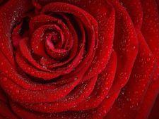 Trandafirii, florile iubirii! Ce alte semnificatii au aceste flori superbe