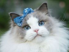 Aurora, printesa pisicilor! Este cea mai frumoasa pisica de pe internet