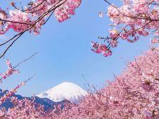 Explozie de flori de cires in Japonia! Imagini senzationale