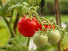 Totul despre plantarea si ingrijirea rosiilor. De la rasaduri la culegere
