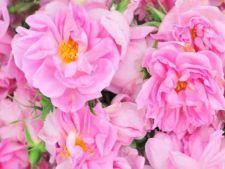 Trandafir Damasc
