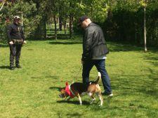 Mistretu beagle