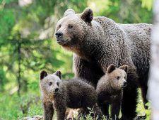 Ursoaica si puii ei, care au inspaimantat localnicii din Cheia, au fost capturati