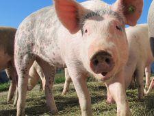 Primul focar de pesta porcina africana in Romania. Ce spun autoritatile