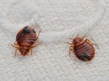 Cum scapi rapid de invazia plosnitelor de pat