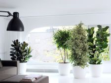 plante ghinion
