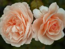 Cum plantezi trandafirii din buchetele primite cadou