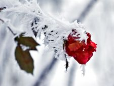 trandafir, inghet, iarna