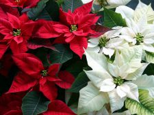 3 plante ce nu trebuie sa-ti lipseasca din casa, de Craciun