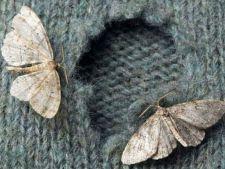 molii