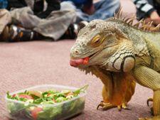hranirea iguanei