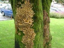 464421 0811 ciuperci copac