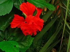 Cum sa ingrijesti trandafirul japonez