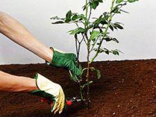 plantarea trandafirilor 4