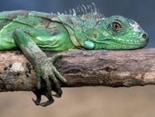 Ce trebuie sa stii inainte de a-ti lua o iguana