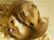 hamster bataus