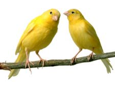 Specii si varietati de canari
