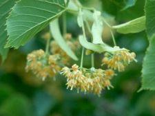 Florile de tei, un miracol al naturii