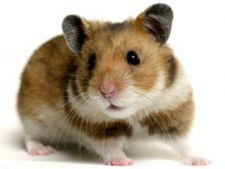 Cum se ingrijesc hamsterii