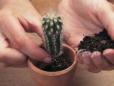 Cum se planteaza un cactus