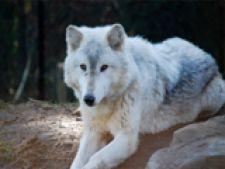 wolfpoza
