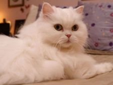 Pisica persana alba