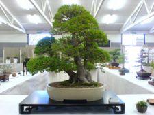Ingrijirea unui bonsai