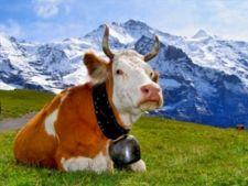 vaca elvetia