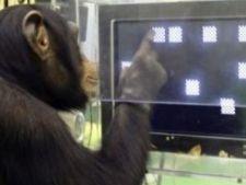 466440 0811 cimpanzeu