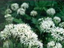 Allium ursinum leurda