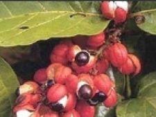 Paullinia cupana guarana