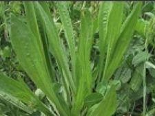Plantago lanceolata coada-soricelului