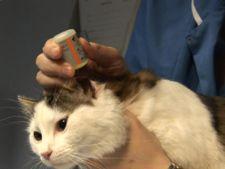 curatarea urechilor pisicii