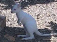 cangur alb