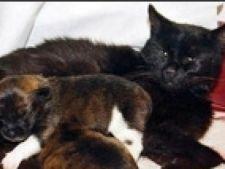 pisica cu catei