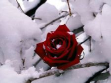 Pregateste-ti trandafirii pentru sezonul rece