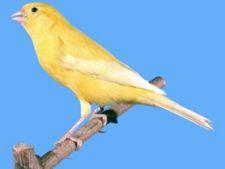 yellow lipochrome canary