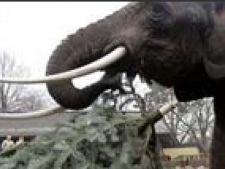 elefant brazi