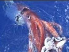 caracatita uriasa