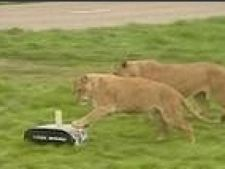 robot pt instinctele leilor