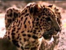 leopard evadat