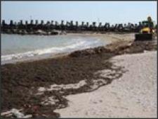 litoral alge