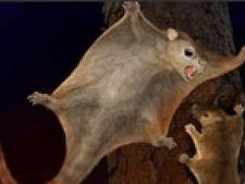 stra veverita