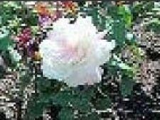 trandafir pt fam regala