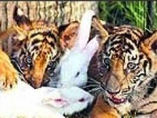 tigru si iepure